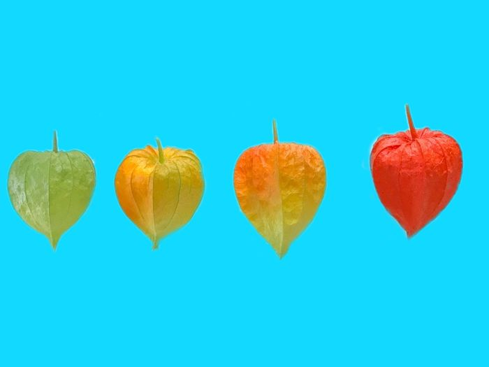Gooseberry Fruit Physalis Gooseberry Food Fruit Food And Drink Healthy Eating Studio Shot Freshness Colored Background Blue Wellbeing Blue Background No People Apple - Fruit Red Indoors  Still Life In A Row Heart Shape Copy Space Group Of Objects Nature