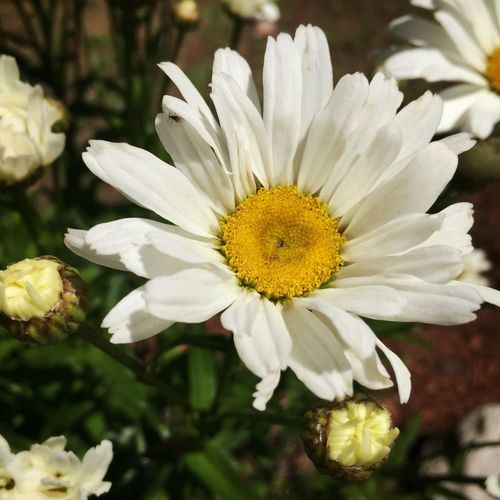 Daisies Daisy Iphonephotography Garden Photography Beauty In Nature Eye4photography  Flowers Beautifulflowerseveryday Flowers,Plants & Garden Nature's Best Beautifulflowerseveryday Flowers, Nature And Beauty