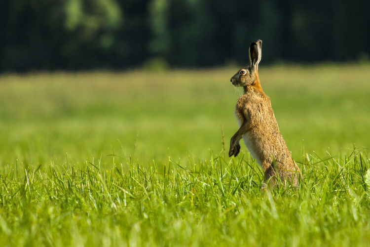 Hare rearing up on grassy field
