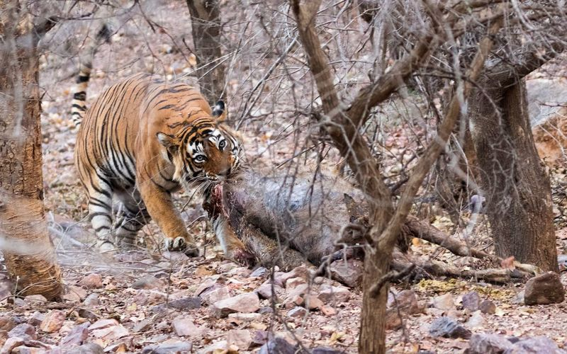 Tiger hunting in forest
