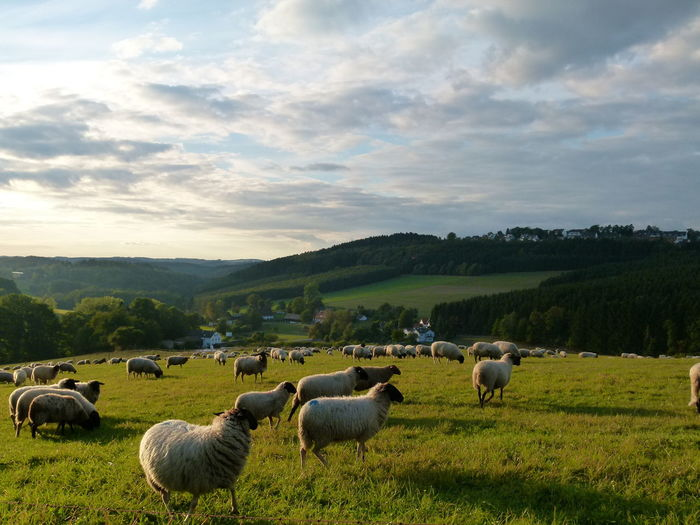 Sheep Grazing On Field Against Sky