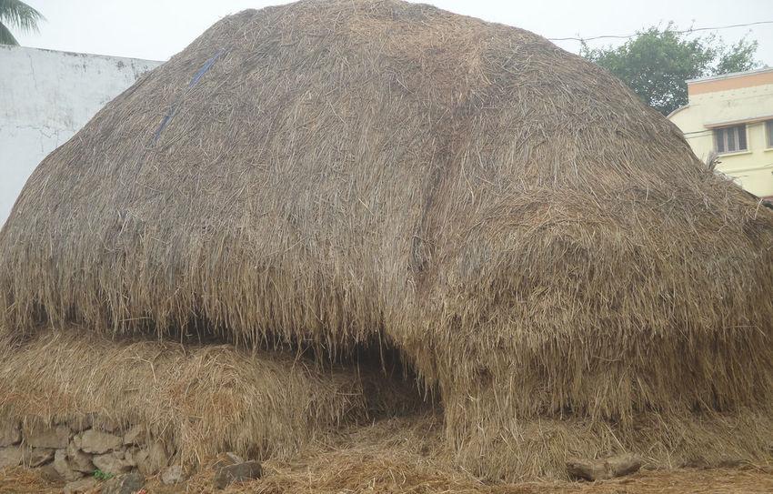 Grass Grass Photography India Indian Animal Food Cow Cow Grassing Grass Area Grassland Vijayawada Baskark1958@gmail