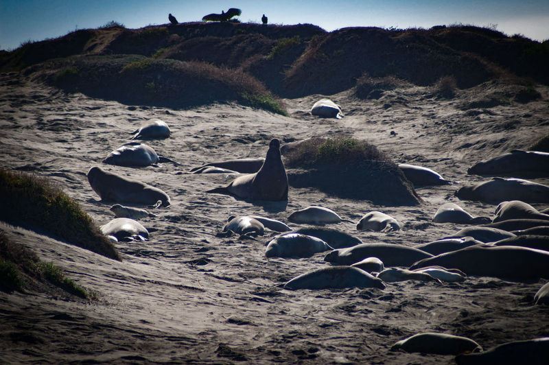 Sand No People Outdoors Beach Landscape Nature Animals In The Wild Animal Wildlife Day Sand Dune Bird Animal Themes Mammal Sea Beauty In Nature Elephant Seal Elephant Seals Sea Life Central Coast EyeEm EyeEm Nature Lover Seascapes Beach Photography EyeEm Gallery Beach View