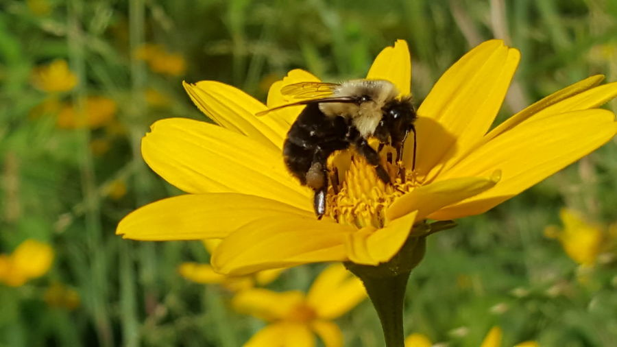 Bumblebee on a wildflower. Flower Insect Plant Animals In The Wild Nature No People Fragility Outdoors Yellow Freshness Petal Animal Wildlife Animal Themes Day Close-up Full Length Perching Flower Head EyeEmNewHere