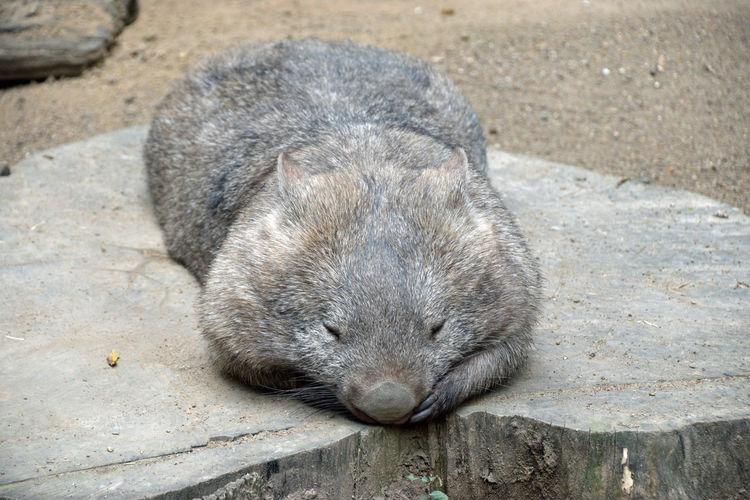 Sleeping wombat