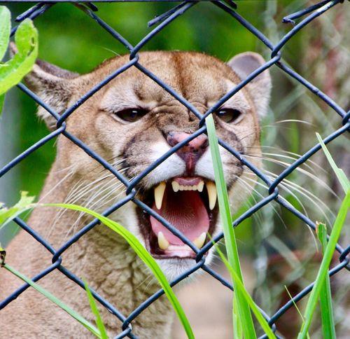 Animal Themes One Animal No People Nature Feline Lion - Feline
