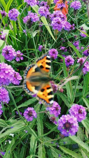 A Beautiful Close-up of Small Purple Flowers , a green Leafy Background and a Out Of Focus Butterfly featuring Flower Fragility Insect Nature Growth Plant Outdoors Beauty In Nature Animals In The Wild No People Day Freshness Pollination Flower Head Petal Green