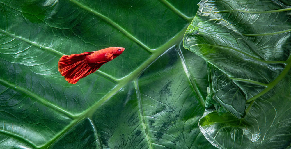Close-up of red betta fish with green leaf background
