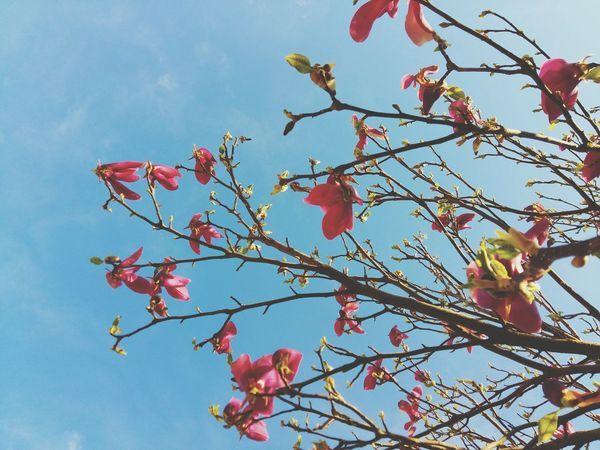 Tree Branches Magnolia Flowers Sky Collection Sky Blue Sunny Day Sunset #sun #clouds #skylovers #sky #nature #beautifulinnature #naturalbeauty #photography #landscape Tree_collection