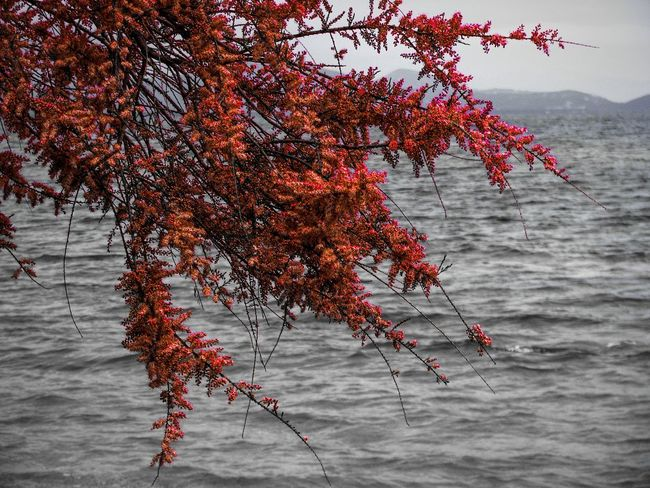 Tamarisk Tree Nature Autumn Red Beauty In Nature Tranquility Growth Scenics Tree Branches Sea Seascape Tree And Sea Red And Black Black And Red Lost In The Landscape Perspectives On Nature