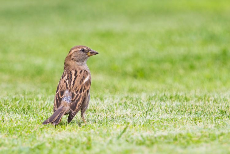 Animal Themes Animal Bird Animal Wildlife Grass One Animal Animals In The Wild Plant Vertebrate Selective Focus No People Nature Day Field Land Green Color Side View Outdoors Perching Looking Profile View Sparrow