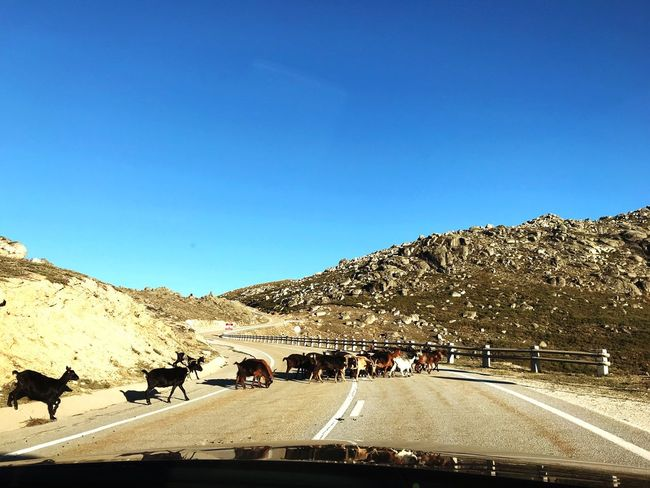 Mountain Road Copy Space Clear Sky Domestic Animals Transportation Animal Themes Blue Day Mammal Sunlight Outdoors The Way Forward Nature Landscape Livestock Land Vehicle Scenics Mountain Range Large Group Of Animals