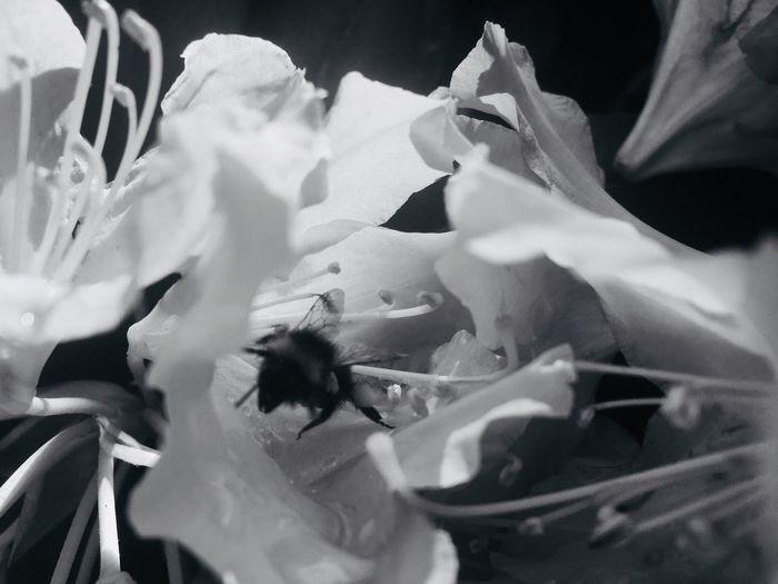 Bee Humblebee