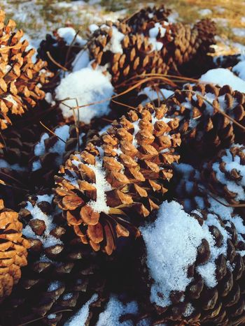 Brown Pinecone Nature Winter Leaf Day No People Snow Cold Temperature