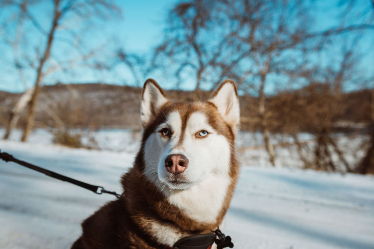 Animal Themes Bare Tree Beauty In Nature Close-up Cold Temperature Day Dog Domestic Animals Focus On Foreground German Shepherd Mammal Nature No People One Animal Outdoors Pembroke Welsh Corgi Pets Portrait Siberian Husky Sky Sled Dog Snow Tree Weather Winter
