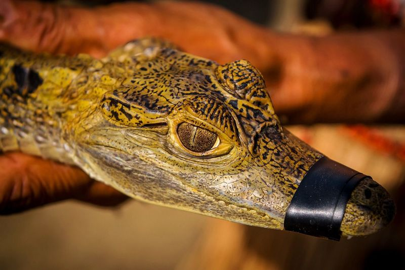 Close-up of young caiman with taped mouth