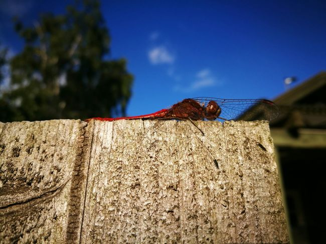 Dragonfly Blue Sky Summer Insect Fence Denmark Colour Of Life
