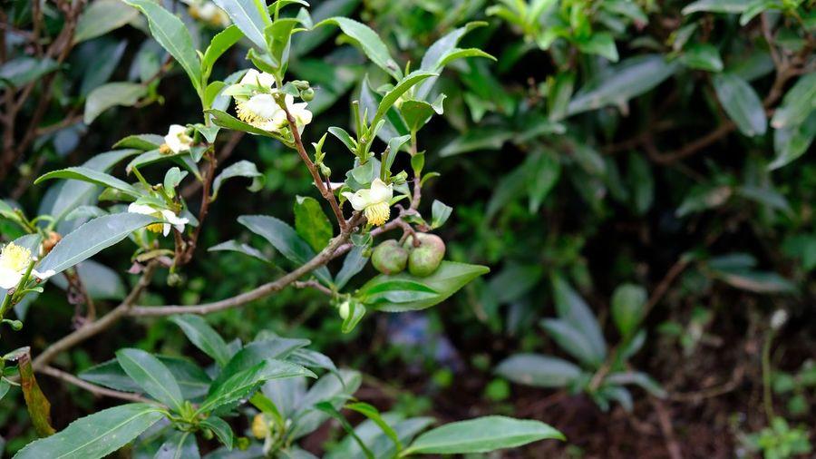 Teaseeds Sri Lanka Ceylon Teaplantation Growth Nature Leaf Flower Plant Focus On Foreground No People