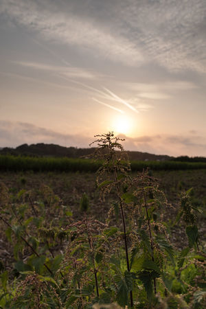 Evening Evening Light Low Angle View PENTAX K-1 Agriculture Beauty In Nature Beauty In Nature Close-up Day Evening Field Green Color Growth Landscape Nature No People Outdoors Plant Rural Scene Scenics Sky Stinging Nettles Sunset Tranquil Scene Tranquility