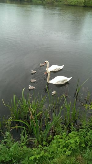 Finaly hatched 7 out two died sadly hopefull the other 5 survive Taking Photos Swan Swans Swans On The Lake Lake View Relaxing Chilling Outdoors Nature Photography Nature TheGreatOutdoors Fishing Outdoor Photography Peace And Quiet Solitude Tranquility Hatchling Birdporn Bird Photography Bird