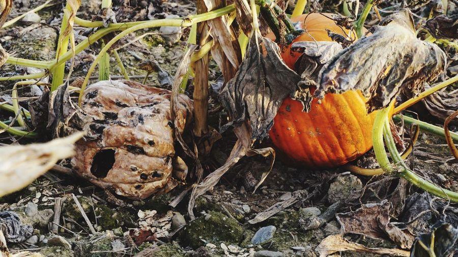 Decay Pumpkin