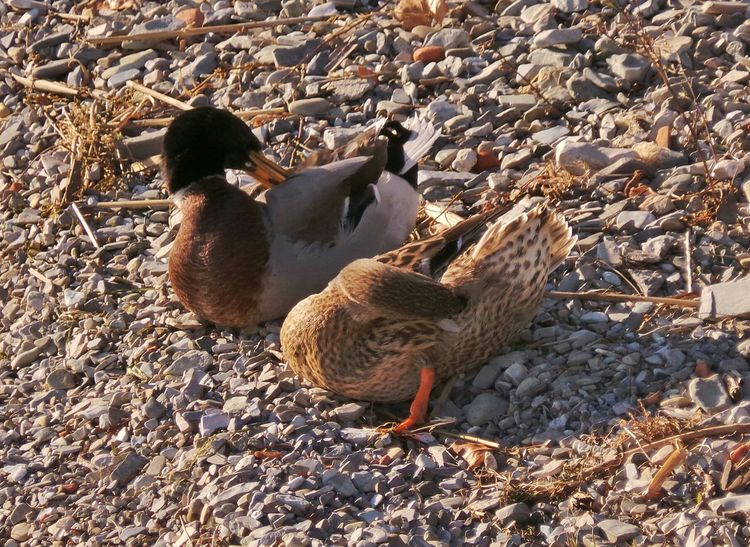 Male and Female of Mallard Animal_collection Birds Ducks