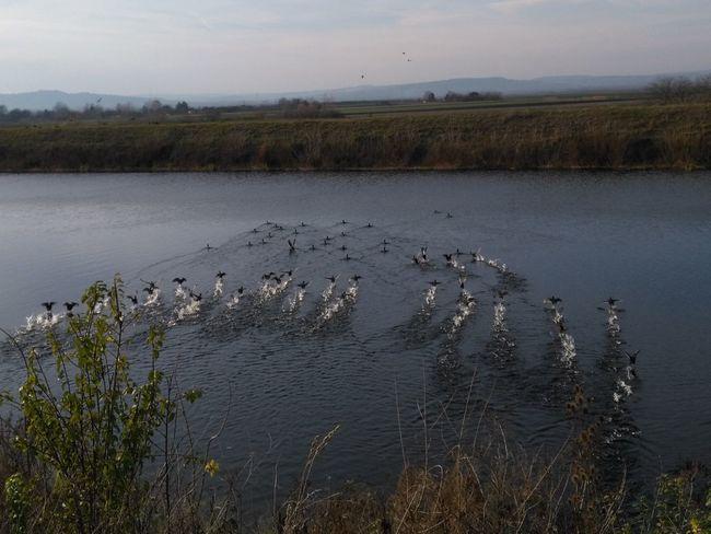 Autumn Cormorant  Bird Duck Flying River Water Wildlife