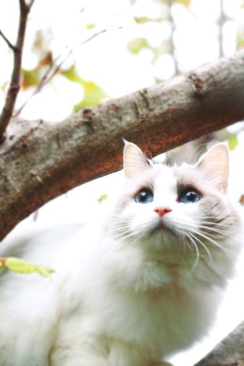 Feline Ragdoll Cat In The Greenery Domestic Animals BlueEyes Cat On A Tree In The Nature Cat Outdoors Tree Climbing