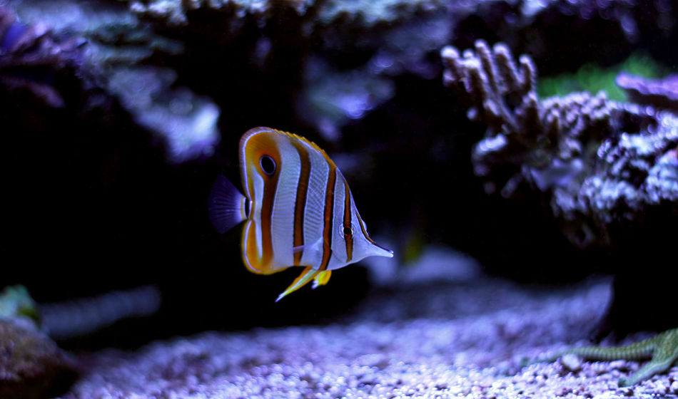Animal Themes Animal Wildlife Animals In The Wild Aquarium Beauty In Nature Close-up Clown Fish Coral Day Fish Indoors  Nature No People One Animal Sea Sea Anemone Sea Life Swimming UnderSea Underwater Water Butterflyfish Copper-banded Butterflyfish Copperband Butterflyfish Aquarium Fish