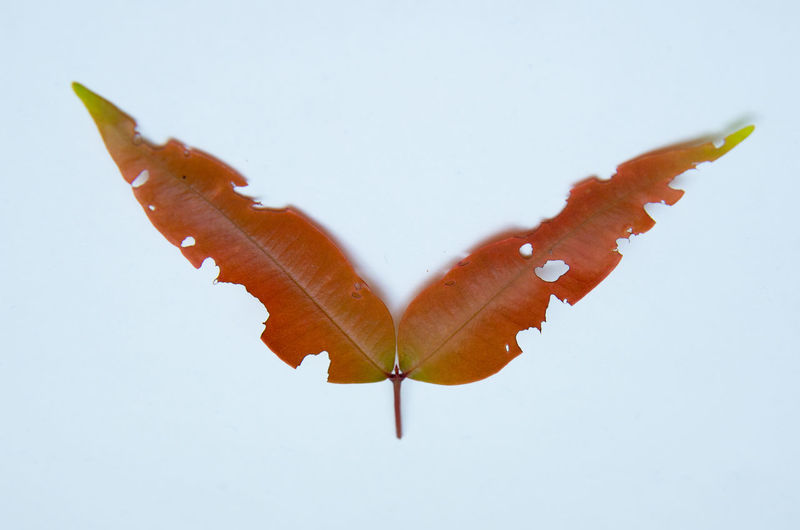 High angle view of orange leaf over white background