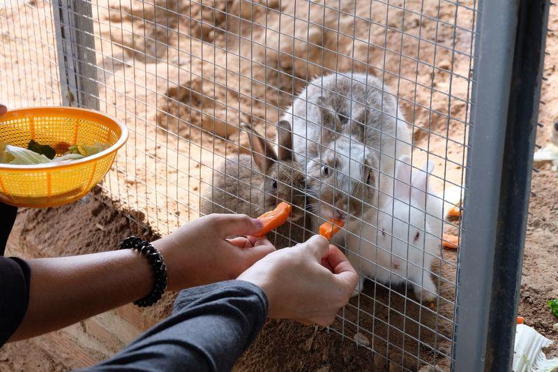 Close-up of hand feeding rabbits through fence