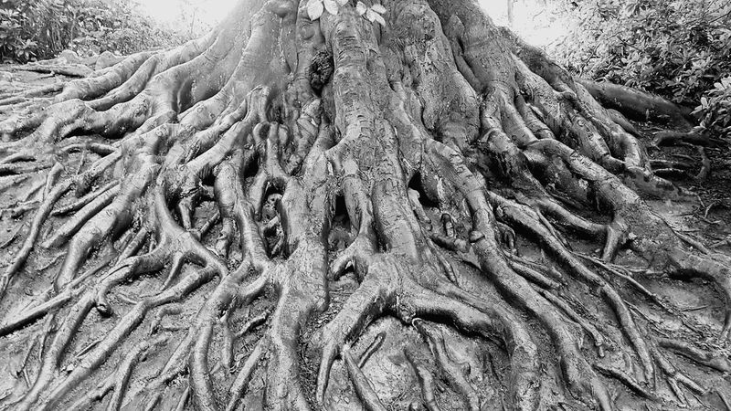 Roots Of Tree Tree Of Life Exposed Roots