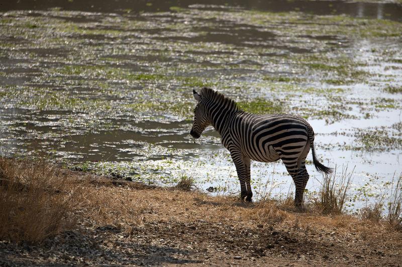 Zebra standing in a lake