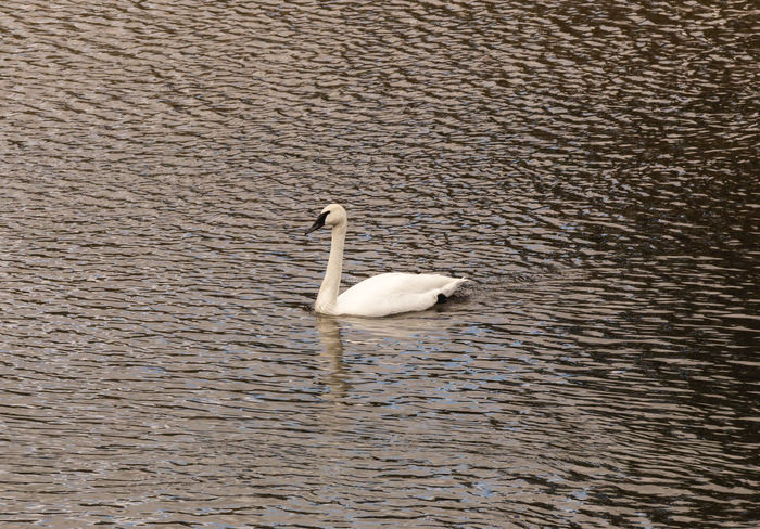 Animal Themes Animal Wildlife Animals In The Wild Bird Day Lake Nature No People One Animal Outdoors Swan Swimming Water Waterfront