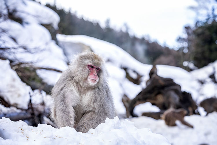 Monkey on snow covered field