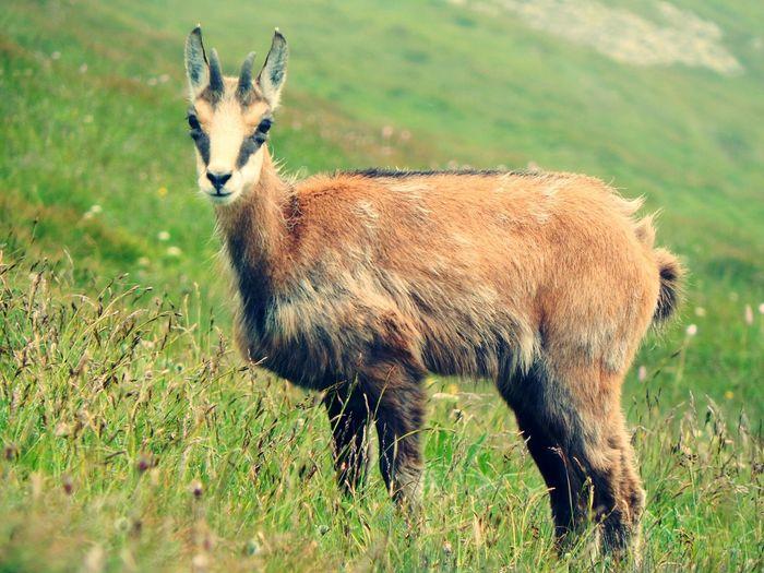Side view portrait of female wild goat standing on grassy field