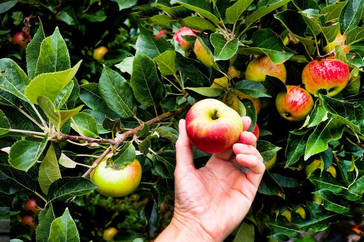 Apple - Fruit Apple Blossom Apple Tree Apples Close-up Day Food Food And Drink Freshness Fruit Green Color Growth Hand Healthy Eating Holding Human Body Part Human Hand Leaf Lifestyles Nature One Person Outdoors Picking Apples Real People Tree