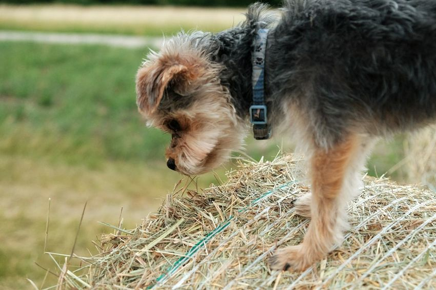 EyeEm Selects Domestic Animals One Animal Dog Animal Pets Animal Themes Mammal No People Grass Outdoors Day Agriculture Close-up Nature Collar Landscape Photography Outdoor Photography Beauty Sky Cute Happiness Blue Love