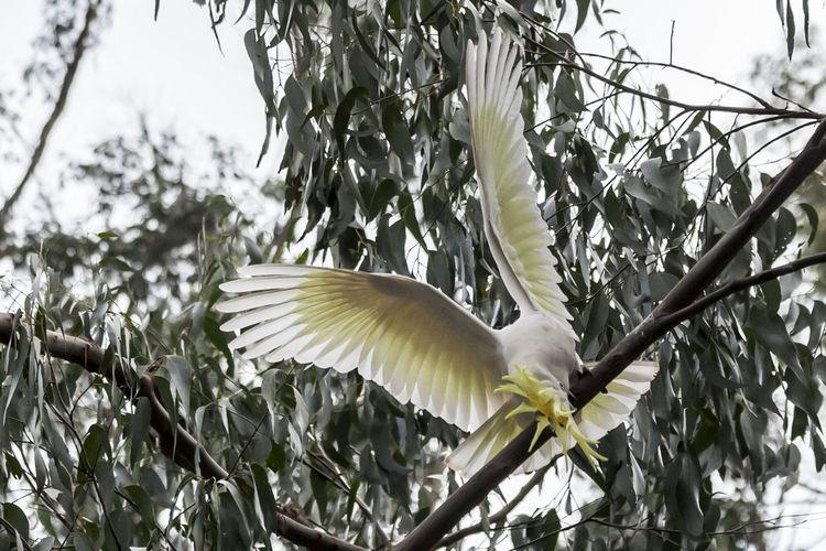 A cockatoo. I