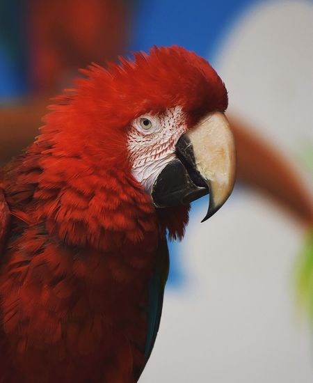 parrot Perroquet Prilaga Parrotlet Parrots Instaparrot Parrotheads Parrotstagram Parrotlover Parrotlovers Beautifull Bird Parrot Red Feather  Close-up Animal Eye Beak HEAD