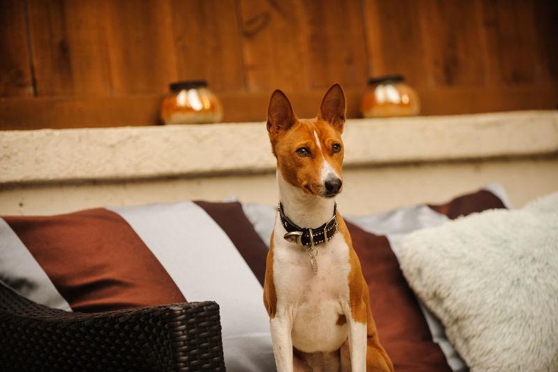 Basenji dog Africa Animal Themes Barkless Basenji Day Dog Domestic Animals Exotic Furniture Mammal No People Outdoors Patio Pet Pets Rare Red Short Hair Sofa Yard