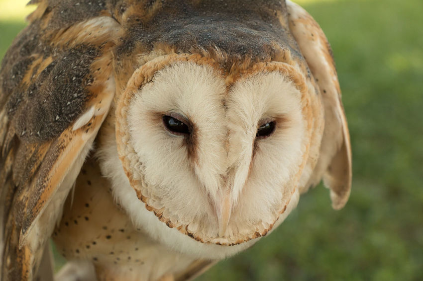 Barn Owl portrait Animal Themes Animal Wildlife Animals In The Wild Bird Close-up Day Domestic Animals Focus On Foreground Food Looking At Camera Mammal No People One Animal Outdoors Portrait