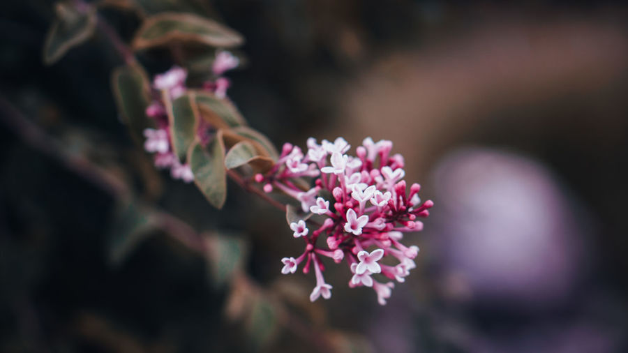 Blüte Beauty In Nature Close-up Day Flower Flower Head Flowering Plant Focus On Foreground Fragility Freshness Growth Inflorescence Lilac Nature No People Outdoors Petal Pink Color Plant Purple Selective Focus Springtime Vulnerability