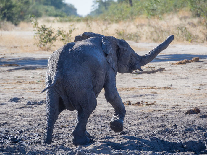 Close-up of elephant calf in moremi game reserve, botswana