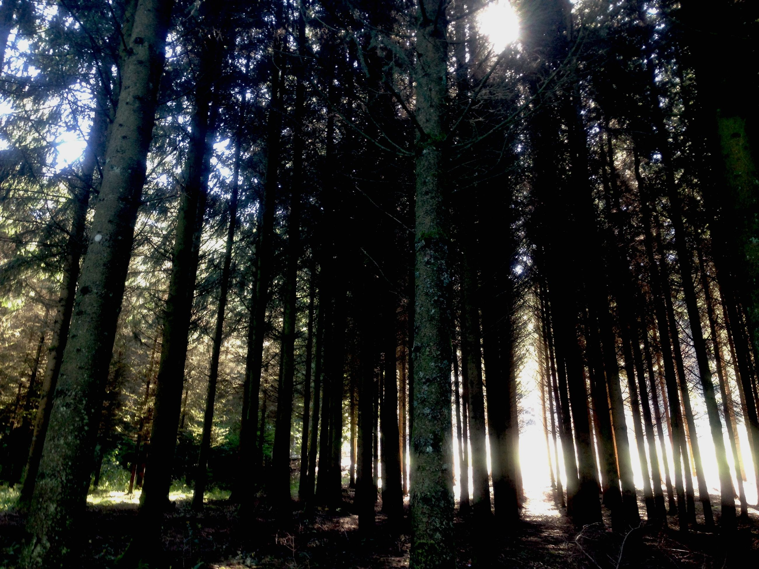 tree, tranquility, forest, growth, tree trunk, woodland, nature, tranquil scene, low angle view, beauty in nature, scenics, sunlight, silhouette, tall - high, sun, sunbeam, branch, idyllic, outdoors, non-urban scene