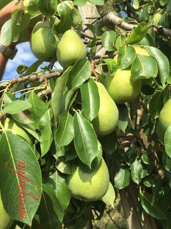 Obstplantage in unserem Dorf. 💕💗 Monique52 Plantage Obst Birnen Birnenbaum Schwarzwald Hochrhein Black Forest Hofladen