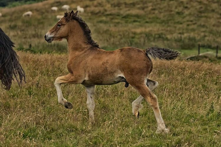 Welsh Cob colt Welshcobs Welshcobcolt Mammal Grass Animal Wildlife One Animal Animals In The Wild No People Animal Themes Outdoors Nature