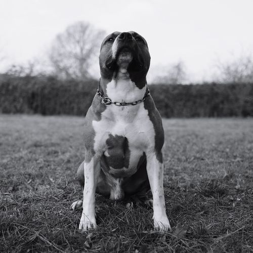 The Week On EyeEm EyeEm Gallery Americanstaffordshireterrier Monochrome Photography Fujifilm X-Pro1 Dogs Of EyeEm Muscle 💪💪 Dog Pets One Animal Domestic Animals Field Outdoors Animal Themes