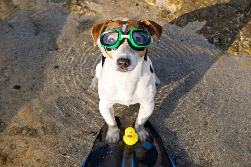 Snorkeling Jack Russell Terrier Cute Funny Mask Glasses Yellow Duck One Animal Mammal Canine Dog Domestic Animals Pets Domestic Humor Fun Small Portrait Day High Angle View Looking At Camera People Outdoors Vertebrate Front View Summer