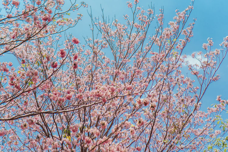 Tabebuia in Penang Tabebuia Low Angle View Plant Tree Sky Flowering Plant Flower Branch Beauty In Nature Growth Nature No People Blossom Day Pink Color Clear Sky Fragility Blue Springtime Freshness Vulnerability  Cherry Blossom Cherry Tree Spring Sakura